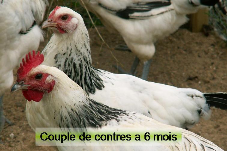 Faire pondre les poules naturellement for Traitement pour les poules